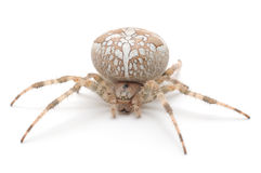 House spider Royalty Free Stock Images