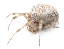 House spider Royalty Free Stock Photography