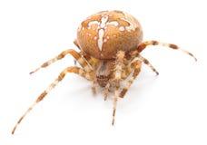 House spider Stock Photo