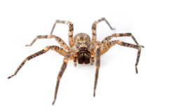 House spiders Stock Photo