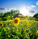 House and sunflowers Royalty Free Stock Photos