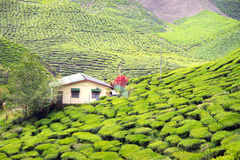 A house in the tea plantation. A house in the middle of a tea plantation Royalty Free Stock Photos