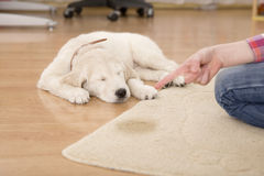 House training of guilty puppy stock images