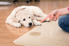 House Training Of Guilty Puppy Stock Image