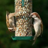 House and tree sparrow. House sparrow and tree sparrow eating peanuts from a bird feeder Stock Photography