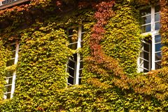House with Virginia creeper Royalty Free Stock Images