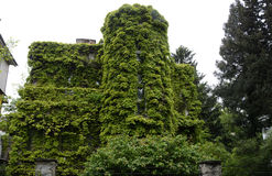 House wall covered with green climbing plants Royalty Free Stock Images