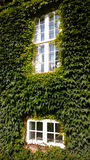 House wall with ivy on a summer day. Two Windows.Vertical view Stock Image
