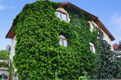 House wall overgrown with ivy Stock Photography