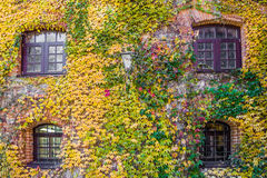 House wall overgrown with wild grapes, autumn scene Stock Image