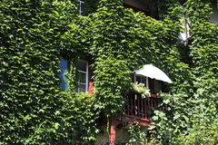 House Wall Overgrown with Wild Grapes Stock Photography