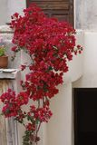 House wall in St-Florent (Saint-Florent) with Bougainvillea glabra, Corsica, France Royalty Free Stock Photography