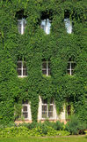 House wall twined wild grapes Stock Photography
