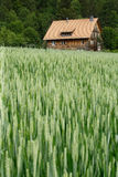 House in the wheat field. A selective focus image of a house off in the distance of a wheat field in the beginning of summer. House is in a small rural area of royalty free stock photo