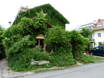 House with wine leaves and ivy Stock Photography