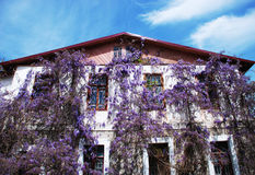 House with wisteria. House wall with blossoming wisteria Stock Image