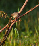 House Wren Stock Images