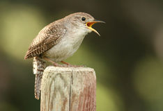 House Wren. A House Wren in full song Stock Photography