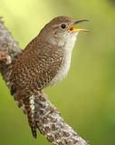 House Wren. A House Wren (Troglodytes aedon) in full song Royalty Free Stock Photo