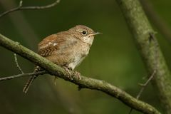 House Wren. Troglodytes aedon - perched royalty free stock photography