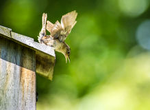House wren bird excited on top of birdhouse Stock Images