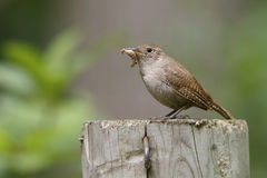 House Wren with a Caterpillar in its Beak Royalty Free Stock Images