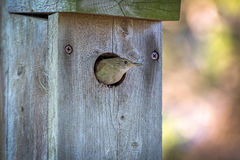 House Wren comes out of its house after feeding its young. Trogl Stock Image