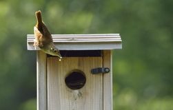 House Wren with Food for Nestlings. House Wren with insect to feed its nearly grown babies Stock Photos
