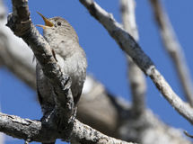 House Wren. Found in Barr Lake Colorado Royalty Free Stock Photo