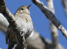 House Wren. Found in Barr Lake Colorado Stock Photos