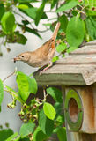 House Wren On Nest Box. House Wren with grub on top of nest box Stock Photos