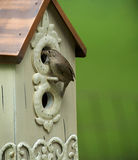 House wren nesting Royalty Free Stock Photo