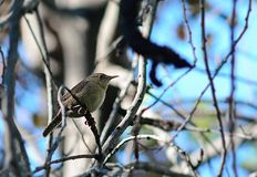 House Wren Stock Photo