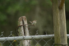 House Wren. Overlooking place to build nest Royalty Free Stock Photography