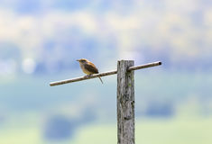House Wren On Perch Royalty Free Stock Photo