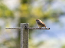 House Wren On Perch Royalty Free Stock Images