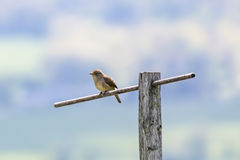 House Wren On Perch Royalty Free Stock Image