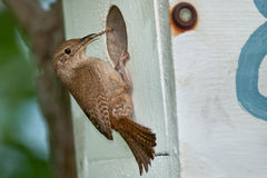 House Wren Royalty Free Stock Image