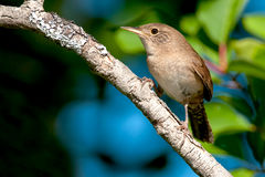 House Wren Stock Photography