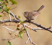 House Wren Perched on a Branch Stock Photos