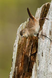 House Wren Royalty Free Stock Photography