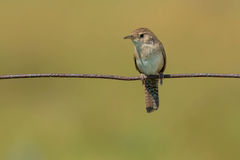 House Wren Royalty Free Stock Images