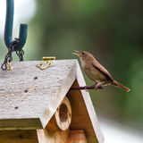 House Wren Singing by Birdhouse Stock Images