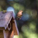 House Wren Singing Next to Birdhouse Stock Images