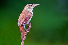 House Wren. Standing on a branch Stock Photography
