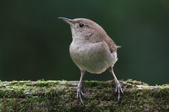 House Wren On A Stump Royalty Free Stock Photos