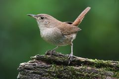 House Wren On A Stump Stock Image