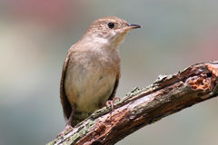 House Wren On A Stump Stock Photos