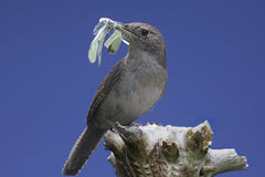 House Wren On A Stump With A Butterfly Stock Images