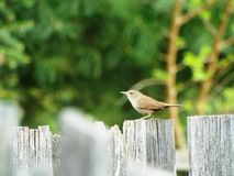 The house wren Royalty Free Stock Photography